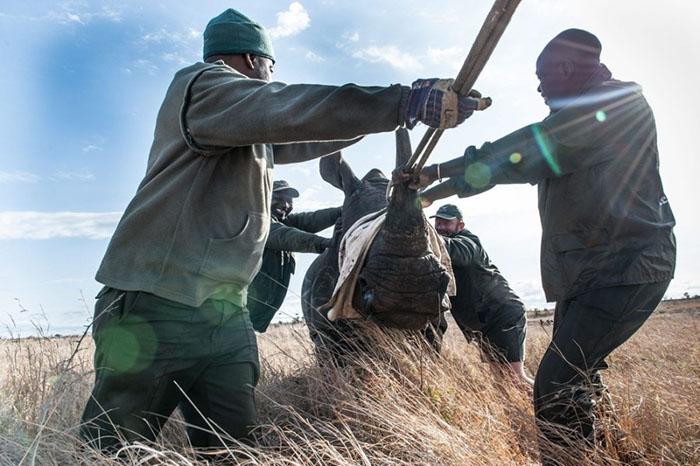 Ежегодно от рук браконьеров погибает более тысячи носорогов.