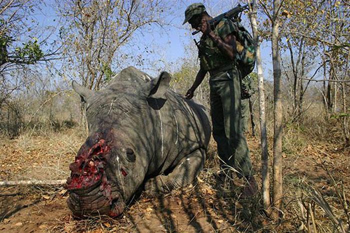 Чтобы удалить рог, браконьеры убивают животное.