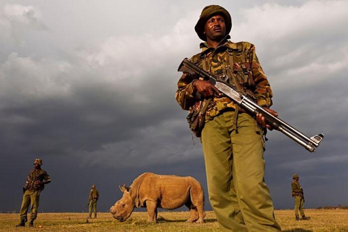 Некоторые носороги настолько ценны, что их охраняют от браконьеров 24 часа в сутки.