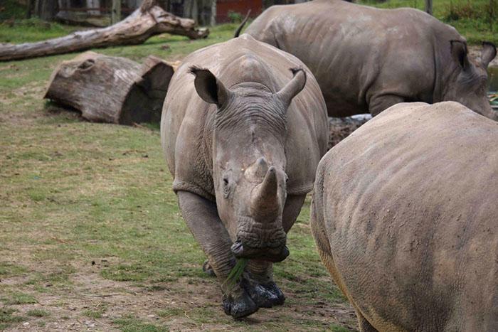 Чтобы спасти носорогов от вымирания, их часто продают в зоопарки и заповедники.