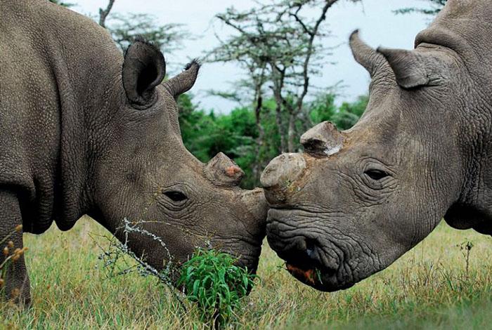В некоторых африканских странах ввели большие штрафы и суровые наказания за браконьерство.