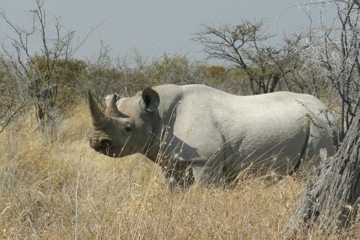 Компания Pembient надеется создать массовый выпуск искусственных рогов носорога, которые будет невозможно отличить от настоящих.