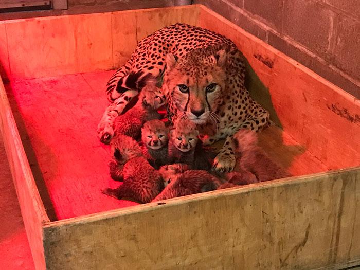 Котята появились в зоопарк Сент Луис.