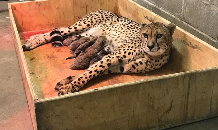 У гепарда родилось восемь детенышей.