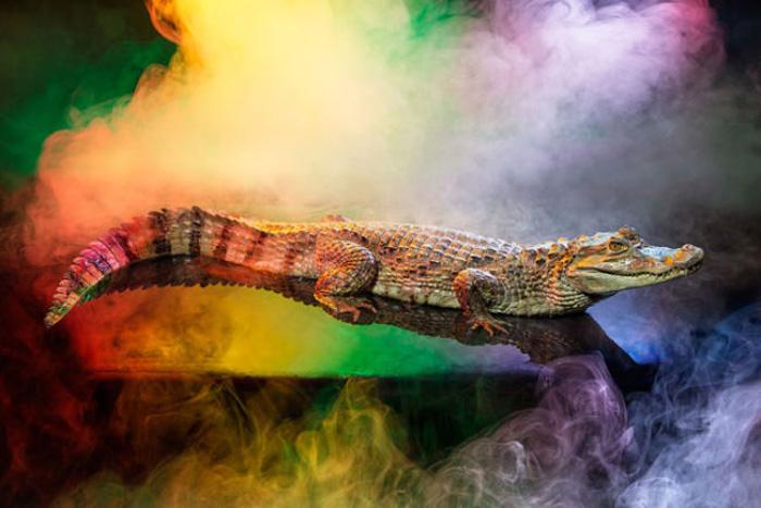 Крокодиловый кайман в объективе Эндрю МакГиббона.