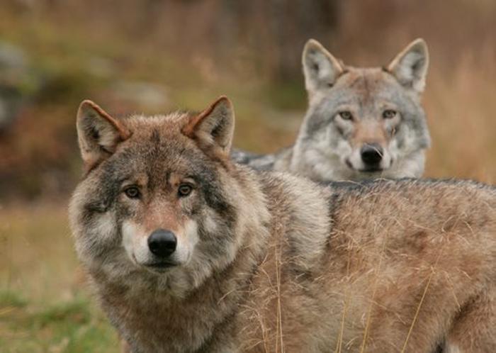 Волки в Полярном Парке.