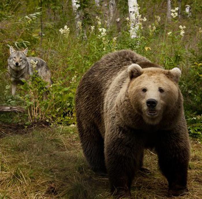Волк и медведь.