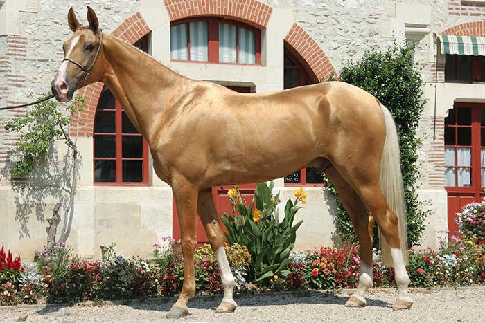 Ахалтекинские лошади бывают разных мастей, от вороных до изабелловой.