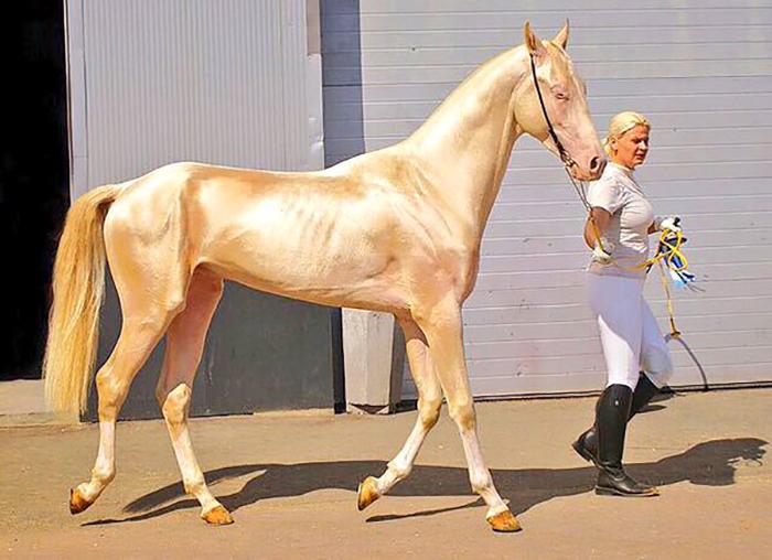 Металлический отблеск шерсти - отличительная черта ахалтекинских лошадей.