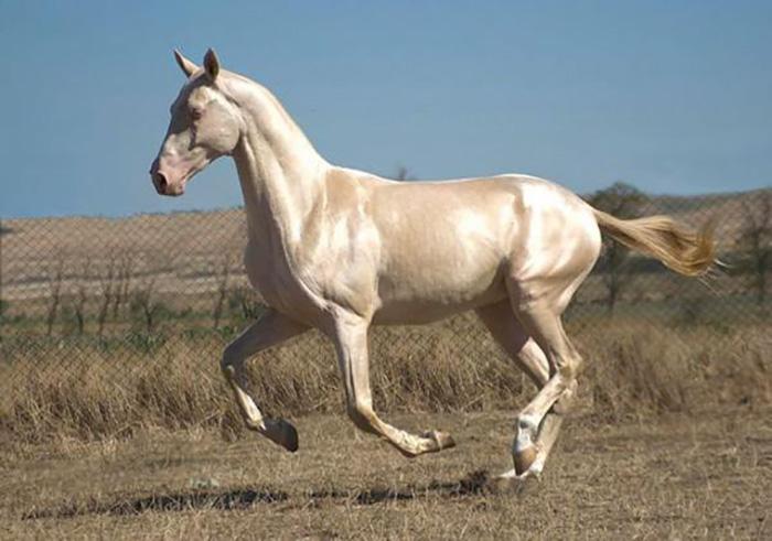 Ахалтекинская лошадь изабелловой масти.