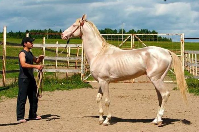 Ахалтекинская лошадь — результат труда многих поколений коневодов.