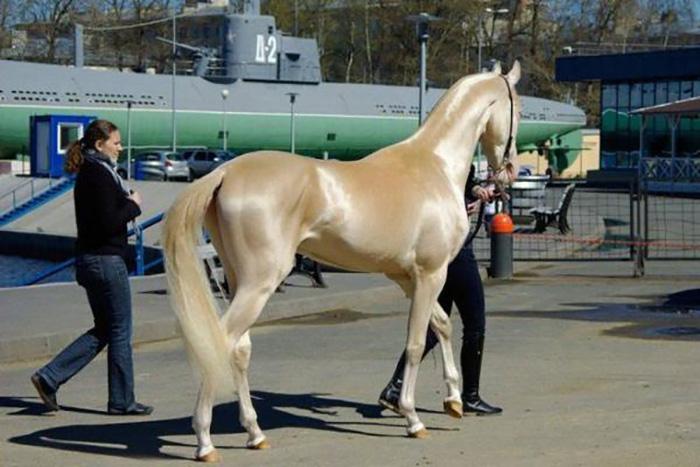 Ахалтекинская лошадь может переносить температуру от −30 до + 50 °C.
