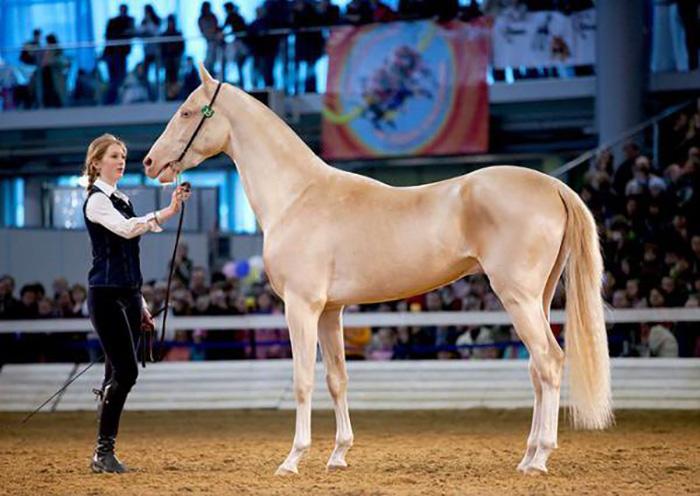 Одна из самых красивых пород лошадей в мире.