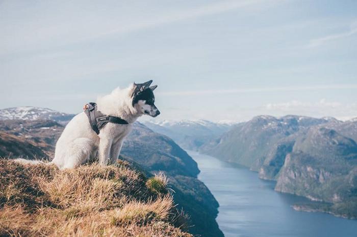 Хаски Акиак в горах Норвегии.