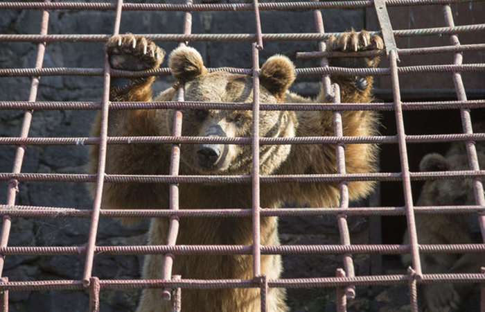 Десять лет медведи прожили в заточении.