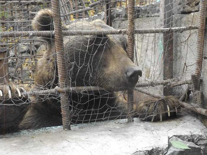 Фонд Сохранения Дикой Природы надеется освободить всех медведей в Армении, находящихся в подобных условиях.