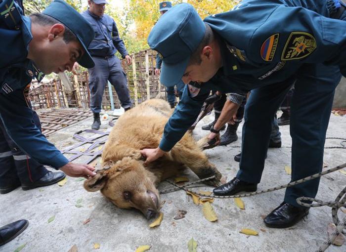 Медведям пришлось вколоть транквилизатор, так как они сильно испугались происходящего.