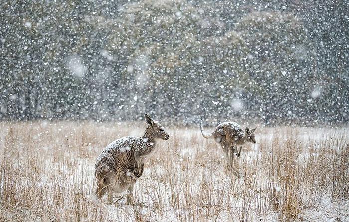 Восточный серый кенгуру. Фото: Charles Davis.