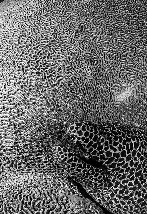 Фотограф натолкнулась наудивительное сочетание сотового угря мурены итекстурированного мозгового коралла вморе Банда, которое расположено врайоне островов Малуку вИндонезии. Фото: Tracey Jennings.