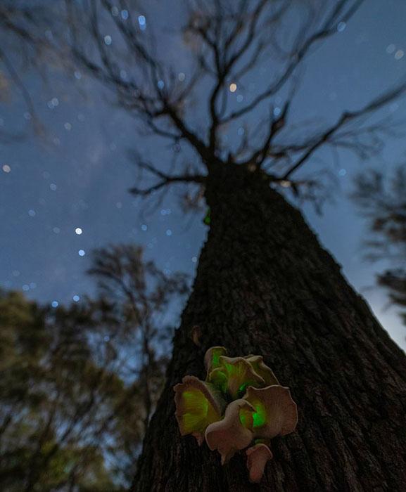 После наступления сумерек грибы насосне начинают сиять зеленым светом, чтобы привлечь насекомых, которые разносят ихспоры. Фото: Marcia Riederer.