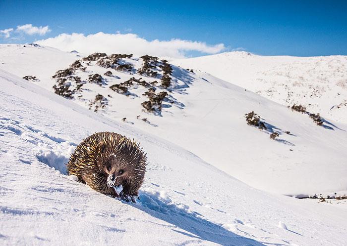 Австралийская ехидна вгорах Австралии. Фото: Charles Davis.