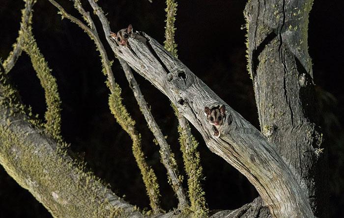 Сахарная сумчатая летяга вдупле дерева вКума. Каждую ночь ровно в20:28 летяга выглядывает изсвоего убежища, чтобы убедиться, что выбираться наружу безопасно. Фото: Charles Davis.