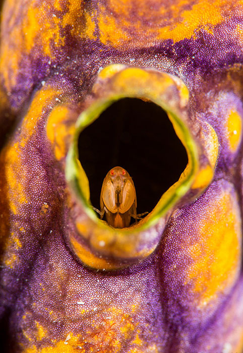 Фотограф искал маленьких морских коньков, авитоге нашел новый вид бокоплава. Фото: Richard Smith.