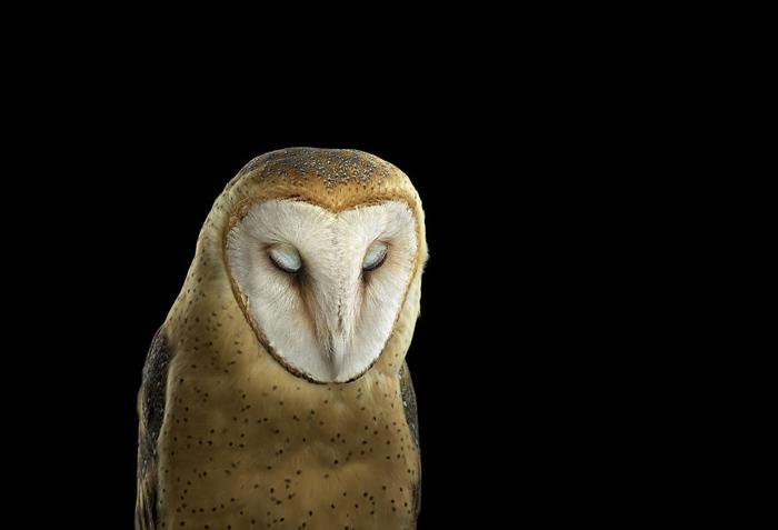 Сипуха. Портрет из серии фотографий Брэда Уилсона.