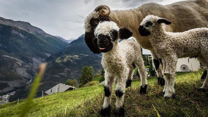 Ягнята и взрослая овца.