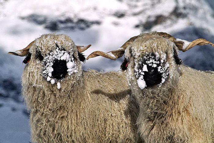 Нос в снегу.
