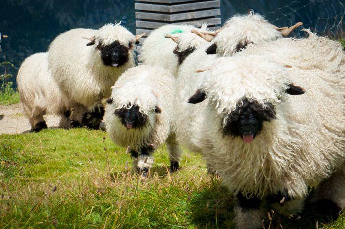 Шерсть черноносых овец длинная, но грубая.