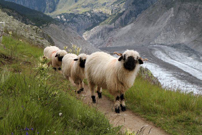Горные овцы.