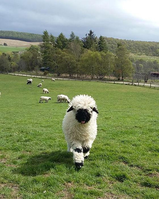 Швейцарские овечки.