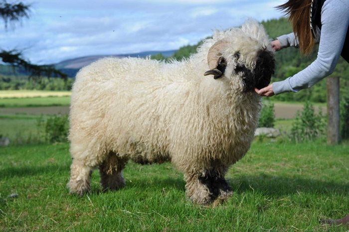 Черноносых овец нередко в последнее время разводят как декоративное животное.