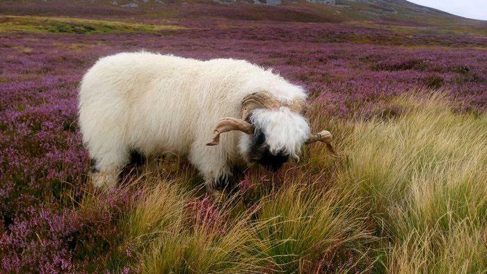 Рога есть как у баранов, так и у овец.