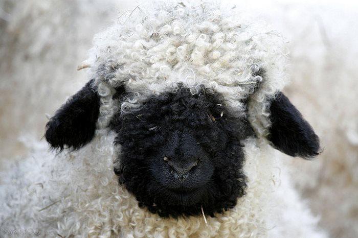 Черноносая овечка.