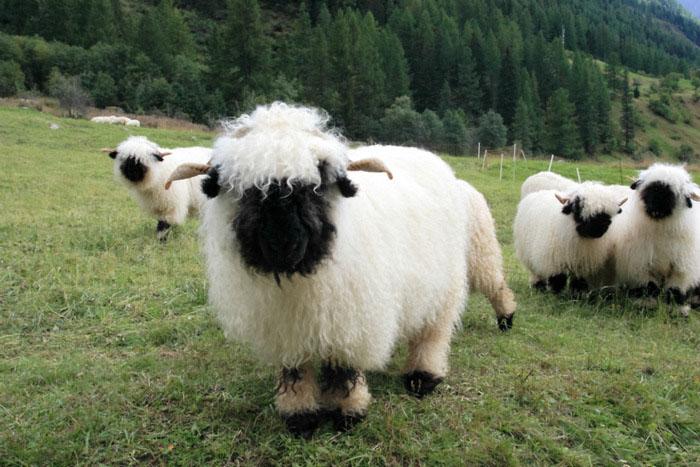 Густой подшерсток помогает овцам выжить в сильные холода.