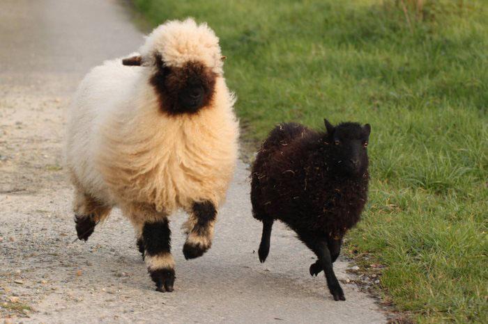 Черноносая и обычная овечки.