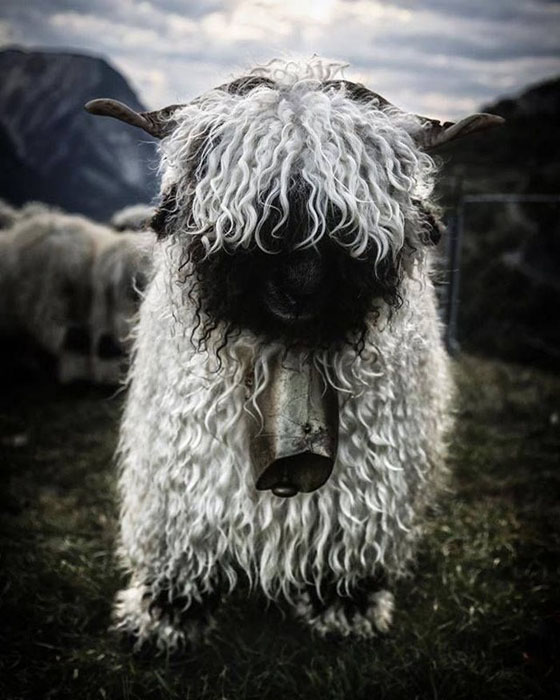 Необычные овцы из Швейцарии.