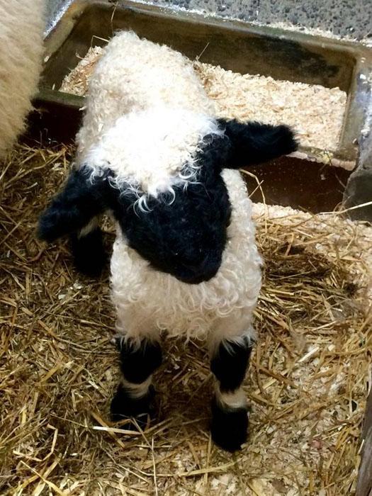 Валлисские овцы.