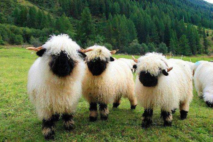 Черноносые овечки из Швейцарии.