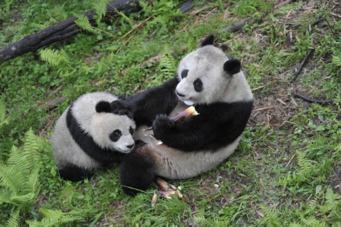 Это уже пятый раз, когда Чао-Чао становится матерью.