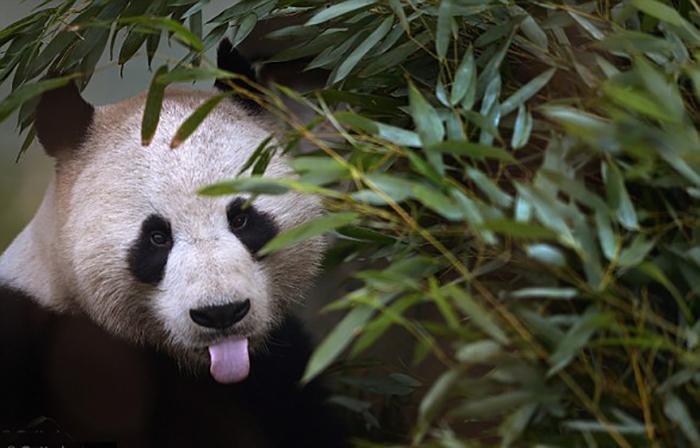 В дикой природе пандам очень трудно выжить, в частности, из-за недостатка еды.