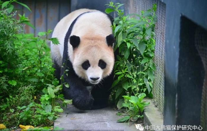 Опыт по освобождению больших панд жить на воле, увы, заканчивался чаще всего неудачей.