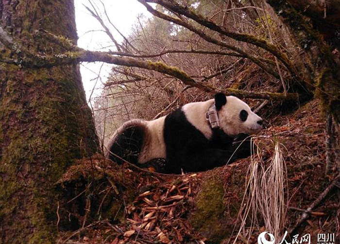 Это уже второй раз, когда Чао-Чао рожает малышей после пребывания в дикой природе.