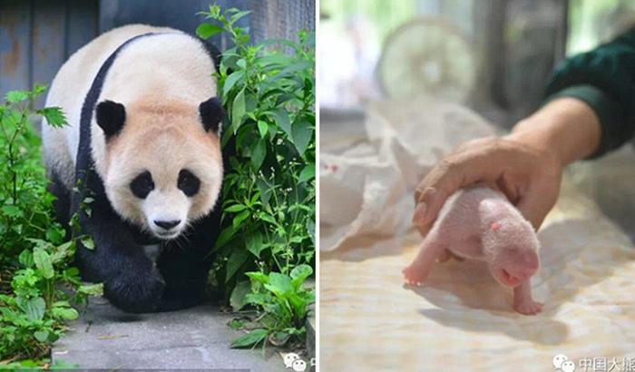 Панда Чао-Чао родила двойняшек.