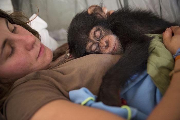 Волонтер из Франции держит на руках 10-месячного шимпанзе Соумба. Незадолго до этого малыша спасли от браконьеров.