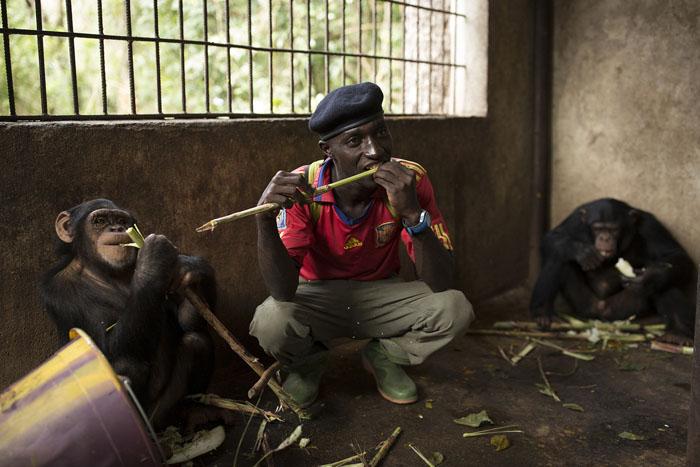 Работник центра проводит время с Лабе, шимпанзе из подопечной группы. Он принес сахарный тростник. Подопечная группа находится на стадии постепенной адаптации к самостоятельной жизни.  Фото: Dan Kitwood.
