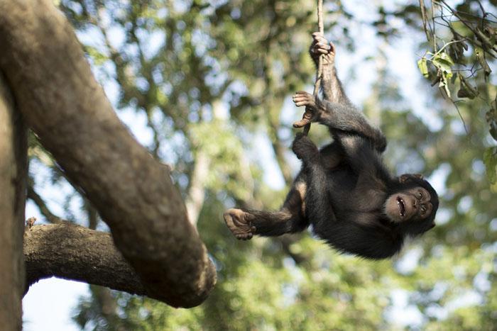 Один из малышей качается на деревьях в лесу на территории центра. Фото: Dan Kitwood.