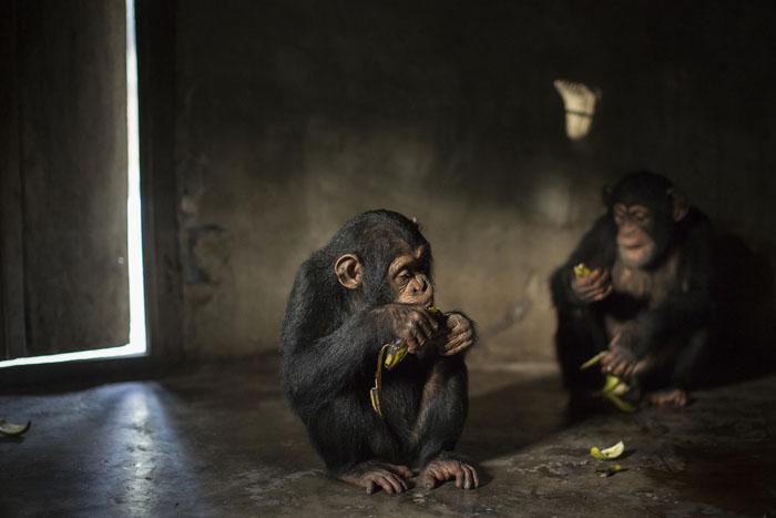 Хава ест свой обед после утренней прогулки по саванне. Хаву спасли от браконьеров после того, как те убили ее мать. Фото: Dan Kitwood.